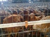 100天海兰褐青年鸡(鹤壁金山)