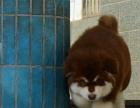 杭州哪里有阿拉斯加的犬舍 阿拉斯加成年多大 阿拉斯加好养吗