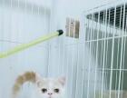 自家繁殖的加菲猫