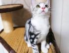 猫星人出售美短