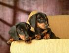 正规犬舍繁殖 赛级品质 罗威纳赠户口 包活 可刷卡