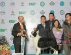 中国登陆冠军边境牧羊犬后代血统证书可查询