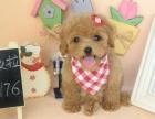 自己犬舍繁殖纯种泰迪熊 现在有黑色 红色 咖啡色的