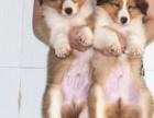上海哪里有免费领养宠物狗 上海免费领养自家大狗生的苏牧犬宝宝