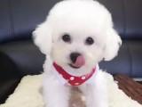 本地犬舍出售大眼睛纯种泰迪熊 深圳茶杯体泰迪多少钱