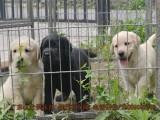 广州黑色拉布拉多黄色拉布拉多奶白色拉布拉多幼犬价格