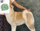 个人繁殖秋田犬 品相好纯血统包健康 疫苗齐全