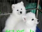 郸城自家繁殖纯种银狐犬出售、疫苗做完多窝挑选视频看狗可送货