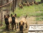 马犬价格 马犬多少钱 纯种马犬多少钱一只