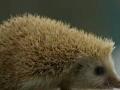 刺猬养殖批发 刺猬种苗 刺猬加盟 种植养殖