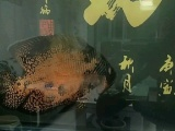 因减少鱼缸密度出售大鹦鹉