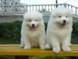 南京出售 萨摩耶幼犬 保证纯种健康签订活体协议包退换