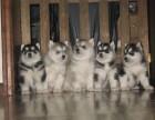 东莞本地狗场直销 纯种哈士奇幼犬 包健康包三个月签协议