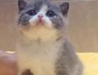 石家庄英短猫纯种多少钱哪里卖