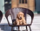 福州哪里有宠物狗卖大头金毛 黄金巡回猎犬金毛狗包健康