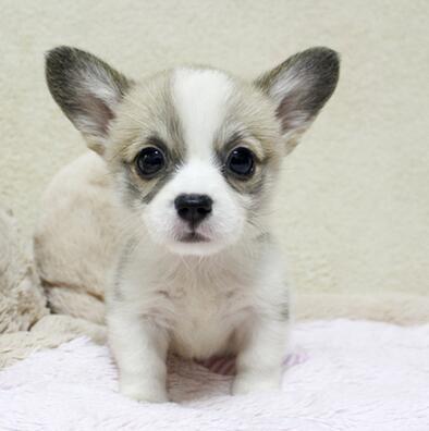 小短腿柯基幼犬待售 保纯保健康 疫苗齐全 可签订协议