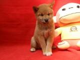 苏州出售健康放心的柴犬宝宝 签定健康协议 纯种协议