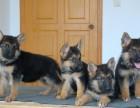 张家港哪有德国牧羊犬卖 张家港德国牧羊犬价格 德牧犬多少钱
