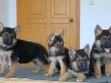 益阳哪有德国牧羊犬卖 益阳德国牧羊犬价格 德国牧羊犬多少钱