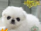 北京赛级京巴直营店 支持全国发货 高品质无菌繁殖