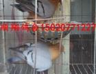 出售观赏鸽 明瓦灰 四块玉 芙蓉马甲 胸球