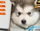 专业繁殖精品巴哥犬 疫苗齐全 保纯保健康 签协议