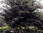四川成都四川優質精品櫸樹 櫸樹價格 成都苗木 櫸樹