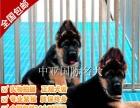宠物狗 纯种德国牧羊犬幼犬 视频看狗 免费送货上门