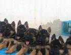 黑背牧羊犬价格图片 纯种黑背牧羊犬多少钱一只