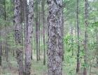 现有哈尔滨市宾县附近7000亩林地低价出租