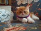 烟台出售纯种加菲猫 包纯种健康 疫苗已做 颜色可挑选