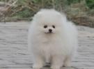 成都狗狗之家長期出售高品質 博美 售后無憂