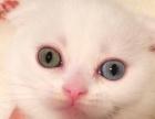 纯白苏折普通眼睛/鸳鸯眼弟弟