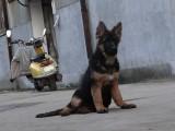 本地正规犬场一出售高品质德国牧羊犬一签协议