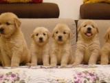 北京東城純種美系金毛幼犬一般多少錢