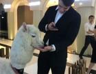 上海羊驼-矮马-孔雀-香猪租赁-商场超市展览展会庆典
