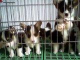 大型犬舍繁殖高品质柯基犬健康有保证欢迎上门