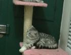 自家繁殖美国短毛猫