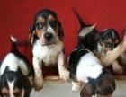 加急出售巴吉度幼犬600
