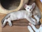 石家庄哪里有卖暹罗猫 多少钱