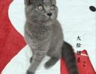 高颜值橘红色大饼脸萌娃蓝猫。健康有保障