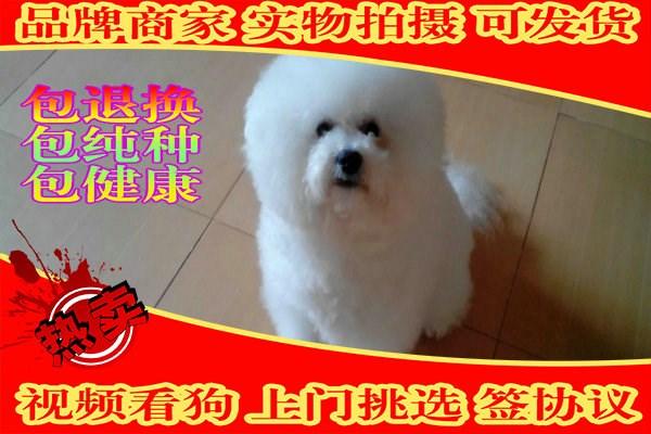 韩国引进大眼睛甜美脸型比熊幼犬保纯种健康
