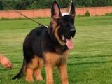 佛山养狗场出售多种宠物狗 纯种德牧犬多少钱一只 多窝挑选