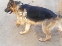 牧羊犬养殖场牧羊犬价格哪里有犬舍养殖场幼犬价格