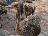 陵水大型珍禽養殖場 長期出售自家繁殖鴕鳥