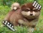 哪里有巨型阿拉斯加出售 阿拉斯加多少钱 宠物狗