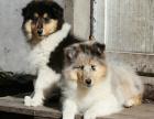 苏牧大概得多少钱 江苏哪里有卖苏格兰牧羊犬的