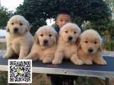赤峰哪里有金毛犬出售 最好的纯种金毛犬价格 金毛犬图片价格