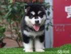 全实物拍摄 阿拉斯加幼犬出售 明码实价 健康质