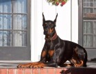 贵阳纯种杜宾犬价格 贵阳哪里能买到纯种杜宾犬